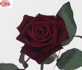 Черная роза Блэк баккара