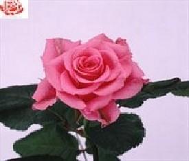 Роза Балет