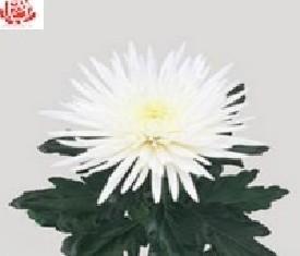 Одноголовая хризантема Анастасия вайт