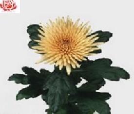 Одноголовая хризантема Анастасия бронз