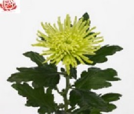 Одноголовая хризантема Анастасия грин