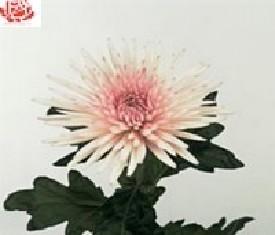 Одноголовая хризантема Анастасия пинк