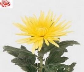 Одноголовая хризантема Анастасия еллоу