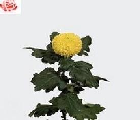Одноголовая хризантема Пин-Понг