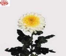 Одноголовая хризантема Инга Белая