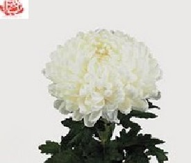 Одноголовая хризантема Ребоннет