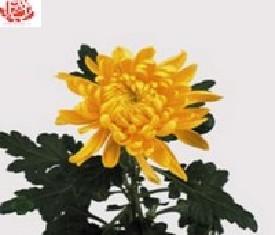 Одноголовая хризантема Резидент