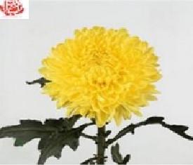 Одноголовая хризантема Дека еллоу