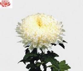 Одноголовая хризантема Дека вайт