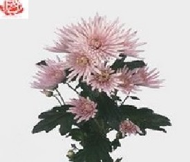 Кустовая хризантема Анастасия пинк