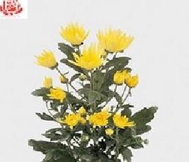 Кустовая хризантема Анастасия еллоу