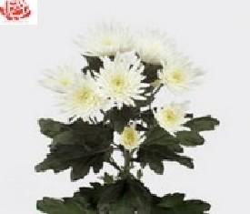 Кустовая хризантема Анастасия вайт