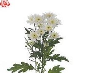 Кустовая хризантема Евро белая