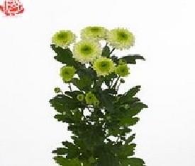 Кустовая хризантема Фурор