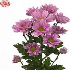 Кустовая хризантема Гранд пинк