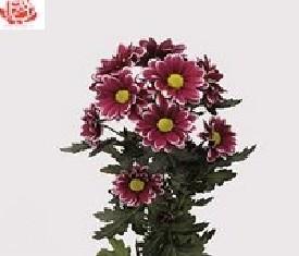 Кустовая хризантема Хэндсом