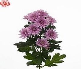 Кустовая хризантема Эль мондо