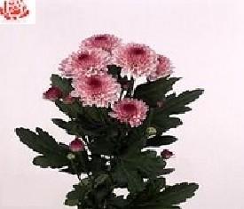 Кустовая хризантема Лоли поп