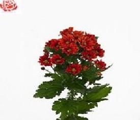 Кустовая хризантема Манакуа