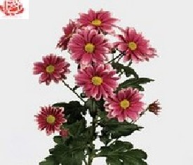 Кустовая хризантема Риган импрувед