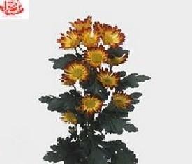 Кустовая хризантема Рома