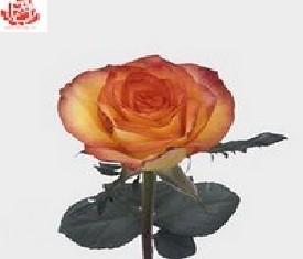 Роза Хай меджик