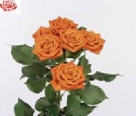 Кустовая роза Бэйб