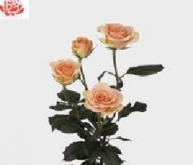 Кустовая роза Исис