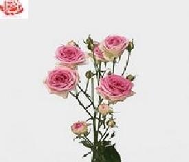 Кустовая роза Мими эден