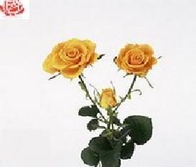 Роза кустовая Сфинкс голд