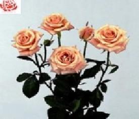 Кустовая роза Сюрприз