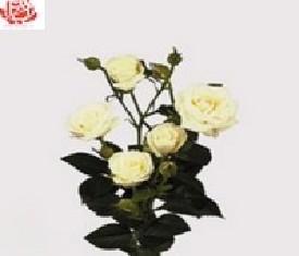 Кустовая роза Вивиан