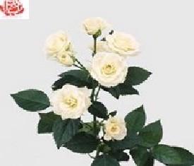 Роза кустовая Вайт лидия
