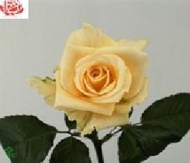 Роза Рената