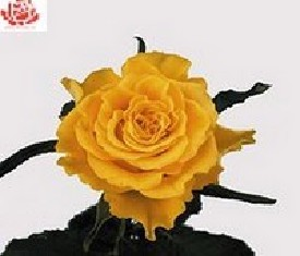 Роза Сфинкс