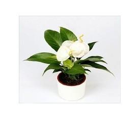 Комнатное растение Антуриум вайт белый