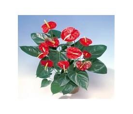 Комнатное растение Антуриум ред красный