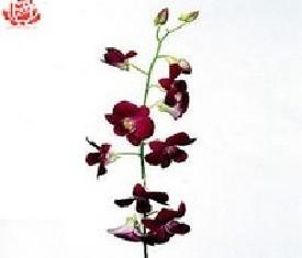 Орхидея дендробиум Леди