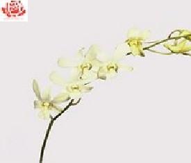 Орхидея дендробиум Мадам Понпадур