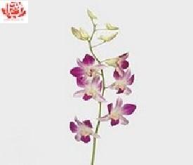 Орхидеи дендробиум Карен