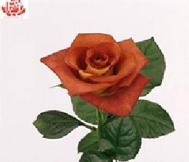 Коричневая роза Леонидос