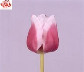 Тюльпан Фанни герл