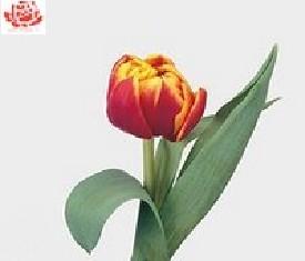 Тюльпан Цилеста