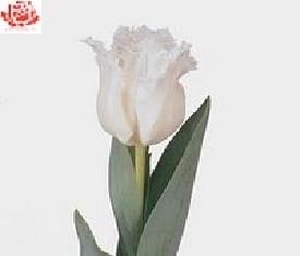 Тюльпан Даетта