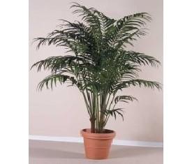 Комнатное растение Ховея Фортериана