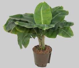 растение банан Муса
