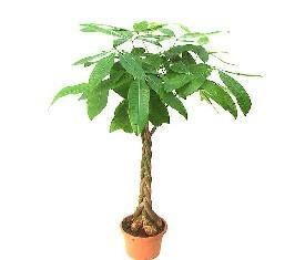Растение Пахира Акватика