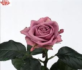 Роза Кулвота