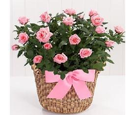 кустовая розовая роза в корзине