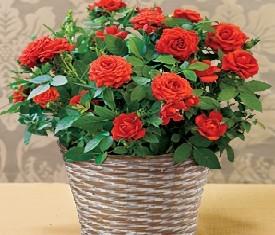 кустовые бордовые розы в корзине